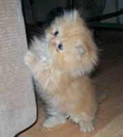 2 Adrable Persian Kittens...07031843781
