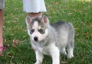 Top Quality Siberian Husky Puppies for Sale