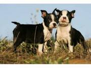 Boston Terriers for free re-homing