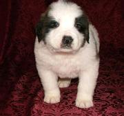 KC Show Quailty Saint Bernard Puppies