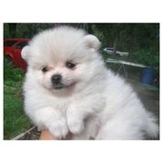 Adorable Teacup pomarenian puppies for sale