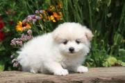 family raise teacup pomarenian puppies for sale