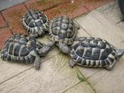 Healthy Tortoises